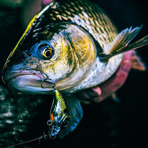 Featured Image - Fat Iris 40